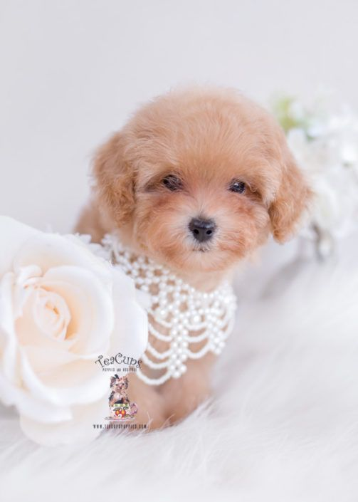 Red Toy Poodle Puppy For Sale Teacup Puppies Teacup Puppies