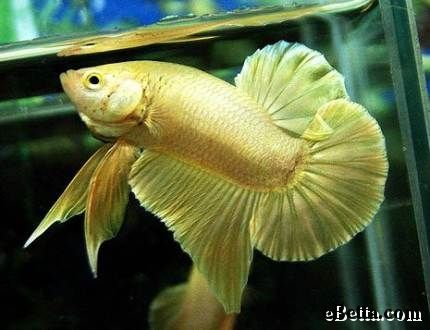 Pinterest the world s catalog of ideas for Betta fish ich