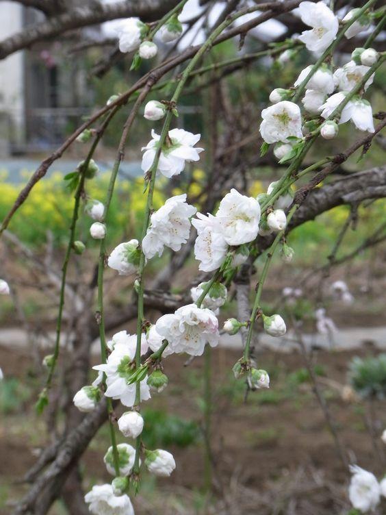 #Japan #Sakura 3/24/3013