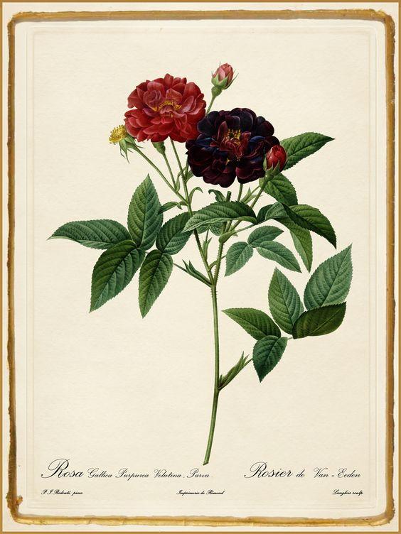 Rosa Gallica (Pierre-Joseph Redouté)