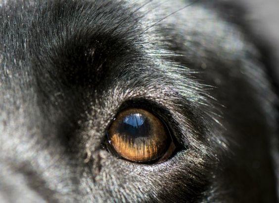 Dog Has Small Cloudy Dot On Eye