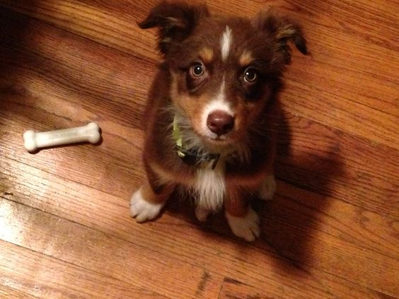Mini Aussie. Could he be any cuter?!?