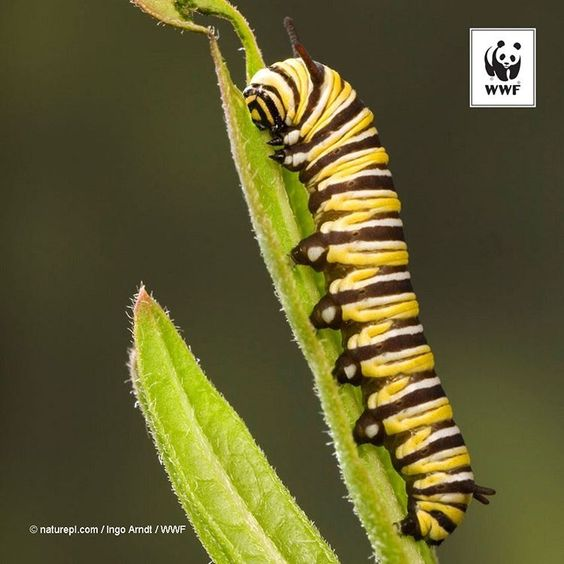 """One should pay attention to even the smallest crawling creature for these too may have a valuable lesson to teach us"" - Black Elk.  WWF ‪#‎PicoftheWeek‬: Caterpillar larva of monarch #butterfly."