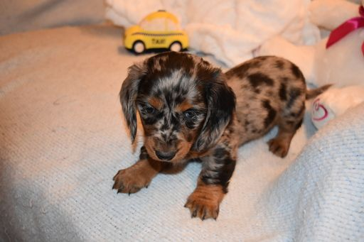 Dachshund Puppy For Sale In Benton Ar Adn 58648 On Puppyfinder Com Gender Female Age 6 Weeks Old Dachshund Puppies For Sale Dachshund Puppy Puppies