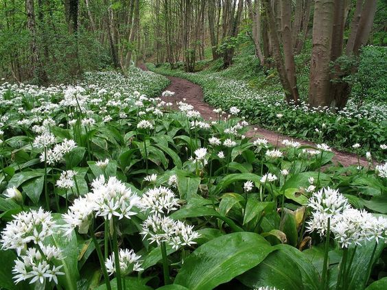 wild garlic 'Allium ursinum'