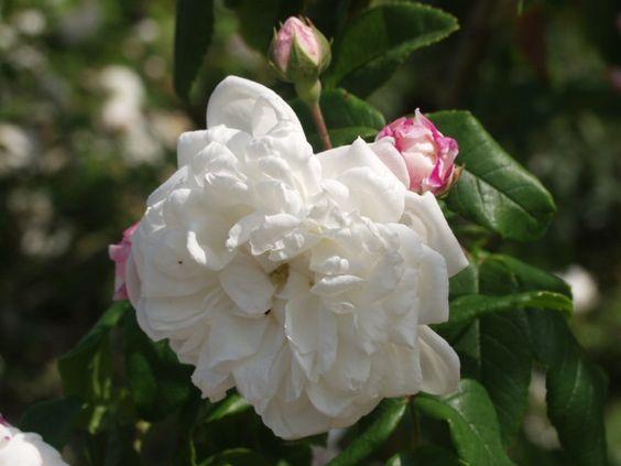 aim e vibert ou bouquet de la mari e est un rosier grimpant remontant et parfum ses longs. Black Bedroom Furniture Sets. Home Design Ideas