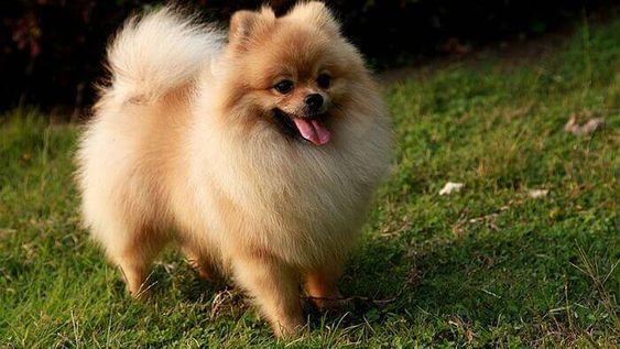 raza de perros Pomerania