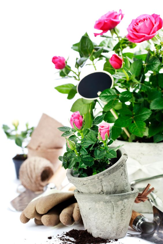 Transplanting roses really is not much different than planting one from your local garden center. To make the task easier for you, this article contains instructions for how to transplant roses.