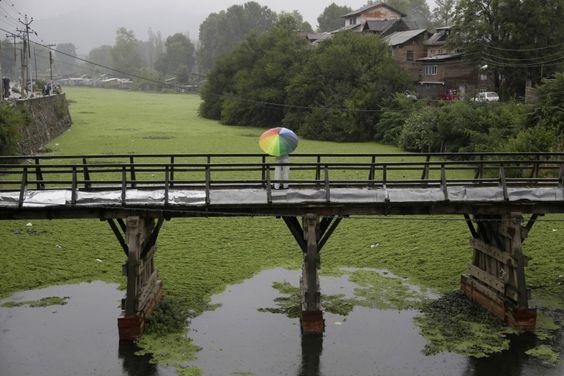 Srinagar, Kaschmir, Indien, von Mukhtar Khan/AP, publiziert am 29. August  Eine einsame Rast im Regen. Auf einer Holzbrücke steht ein Mann mit Blick auf den über und über mit Algen bedeckten Dal Lake.