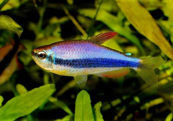 Neon tropical fish and tropical on pinterest for Types of tetra fish