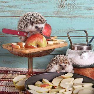 """Ежики решили сделать шарлотку. Фуззи режет яблоки, Киви укладывает их. """" Эй,  Киви, я все сверху  вижу! Прекрати есть яблоки, нам не хватит на пирог!"""" Киви, действительно, любит покушать, ей всего 3 месяца, а весит она больше взрослой Фуззи. ."""