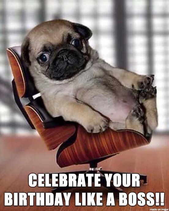Birthday Pug Meme Pug Best Of The Funny Meme Birthday Pug Pug Memes Happy Birthday Pug