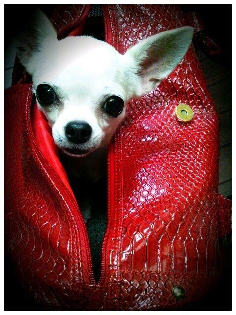 Chihuahua: