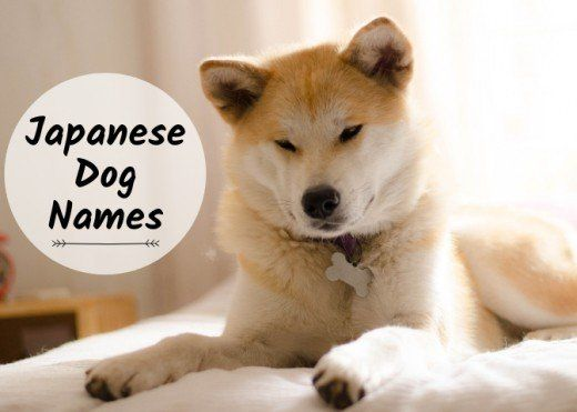 Best Japanese Dog Names For A Tosa Akita Or Shiba Inu Japanese Dogs Japanese Akita Akita Puppies