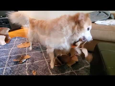 Funny Dog Ripping Paper Shopping Bags Off My Feet After Amazon Prime Now Delivery Fun Times S10e Youtube Funny Dogs Amazon Prime Now Dogs