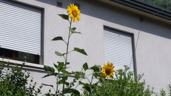 girasole giardino di casa