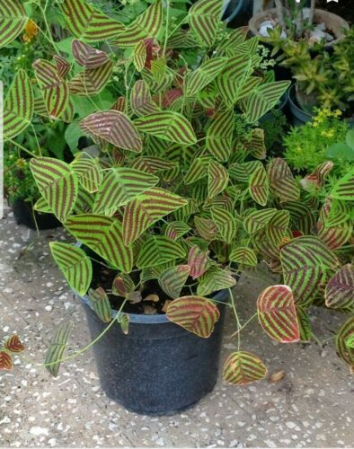 Christia Obcordata Or Butterfly Plant 10 Seeds Usa Seller In 2020 Butterfly Plants Unusual Plants Tropical Plants