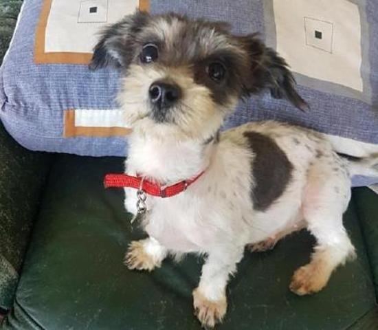 Doudoune Chiot Yorkshire Terrier A Adopter Chien A Donner Adopter Un Chiot Chiot Yorkshire