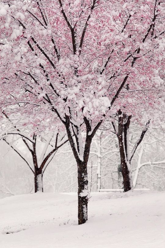 Pin By Lori Loftin On Pink Winter Winter Nature Spring Snow Blossom Trees