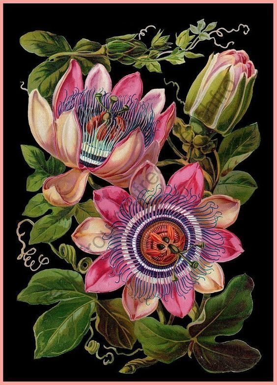 Antique Victorian Botanical Cla0910029q Quilt Blanket Flower Illustration Flower Drawing Flower Art