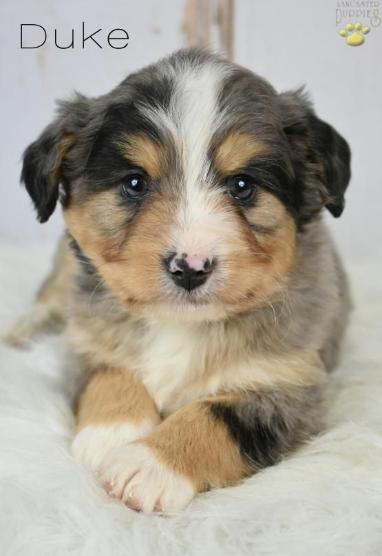 Duke Blue Merle Tri Color Mini Bernedoodle Puppy For Sale