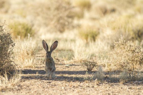 I had to creep up very quietly just to get this close to that jack rabbit. Took some patience but I managed to get this picture before he hopped away.