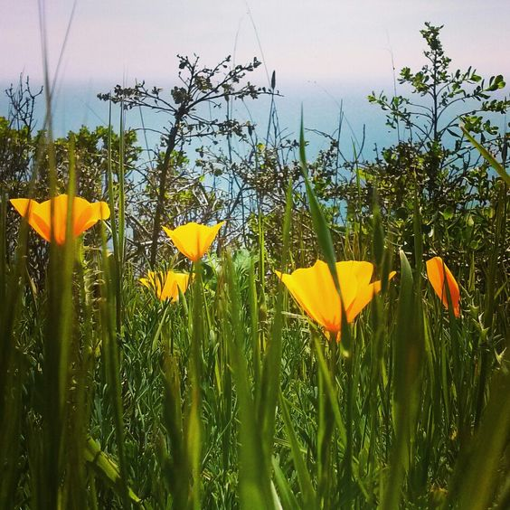 California Poppy By Meagan Meadows  Little Alters Photography