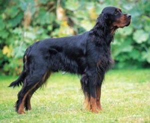 Gordon Setter | Big Dog Breeds