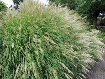 Miscanthus sinensis 'Yaku Jima' Deze vorm van het Prachtriet heeft een min of meer bolvormige groeiwijze en wordt maximaal 1 meter hoog. Rijke bloei vanaf Augustus en een fantastisch wintersilhouet. Snoei terug in het vroege voorjaar.