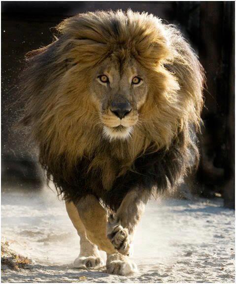 Resultado de imagem para O leão, o mais bravo dos animais, que não recua diante de nada