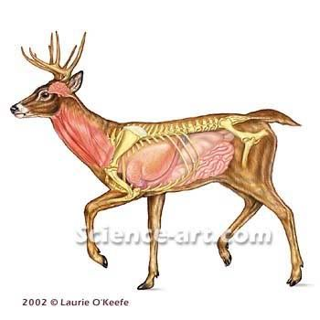 Deer skeletal anatomy