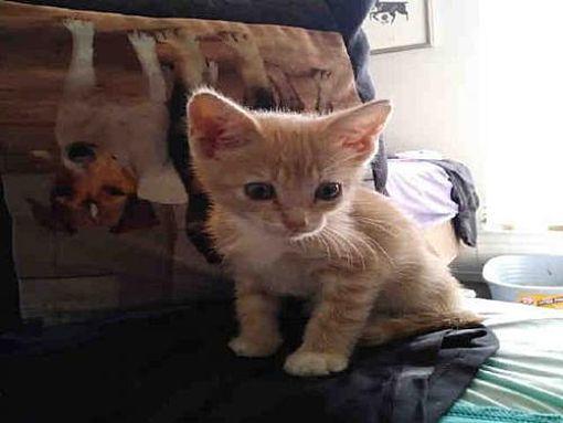 Austin Tx Domestic Mediumhair Meet Gordy A Cat For Adoption Kitten Adoption Puppy Adoption Cat Adoption