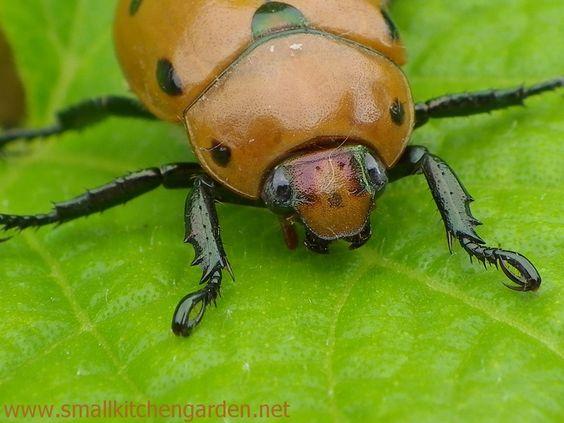 Grapevine+Beetle+http://www.smallkitchengarden.net/photo-challenge/bug-photo-challenge