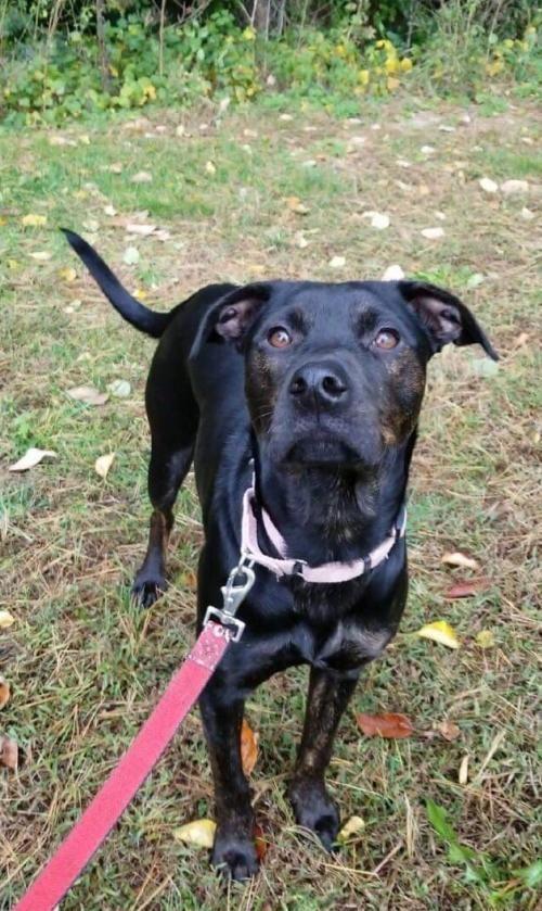 Adopt Elle On Dog Adoption Dog Rocks Black Labrador Retriever