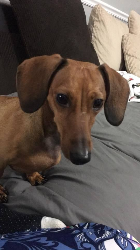 Adopt Cinnamon On Fort Walton Beach Dachshund Adoption
