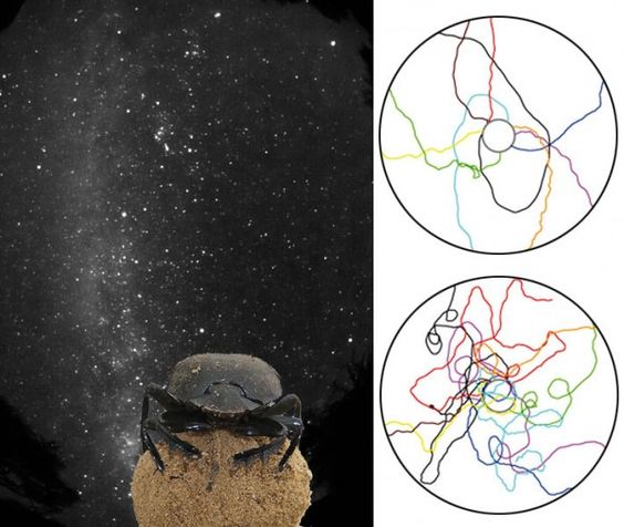 Dung Beetles Navigate by the Milky Way | Science/AAAS | News
