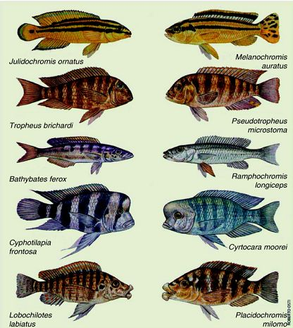 Parallel evolution of african lake cichlids lake for Lake tanganyika fish