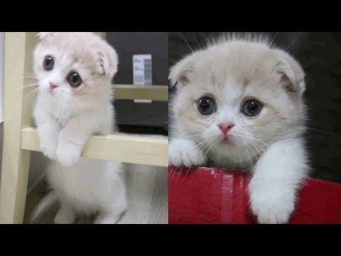 Scottish Fold Munchkin Kitten Youtube Munchkin Kitten Scottish Fold Kittens Munchkin Cat Scottish Fold