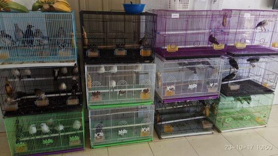 Jual Burung Jalak Hongkong Atau Jalak Mandarin Dengan Aneka Macam Pilihan Usia Mulai Dari Anakan Hingga Dewasa Siap Tangkar Jalak Bali Burung