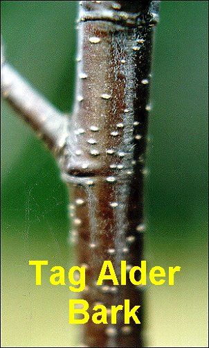 tag alder tree - for use in crafts and small pinecones