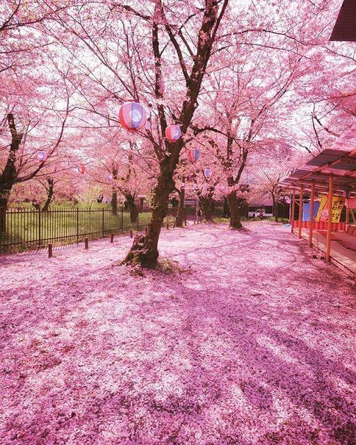 Travelallneeds Sakura Bloom Cherry Blossom Season Cherry Blossom
