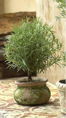 Rosemary topiary--beautiful to look at, delightful to eat.