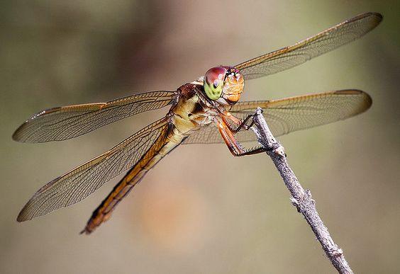 Female Scarlet Skimmer Dragonfly