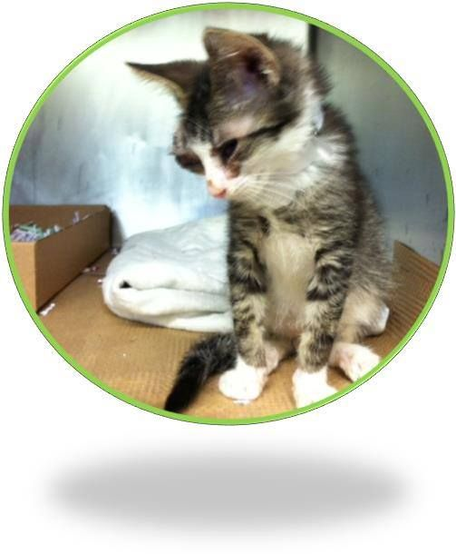 TO BE DESTROYED 8/2/14 ** BABY ALERT! MUST SEE VET!! Ivory has a proptosed eye and may possibly need an eye enucleation. Ivory is a super sweet kitten who enjoys affection! ** Manhattan Center My name is IVORY. My Animal ID # is A1008515. I am a male blk tabby and gray domestic sh mix. The shelter thinks I am about 6 WEEKS old. I came in the shelter as a STRAY on 07/29/2014 from NY 10452