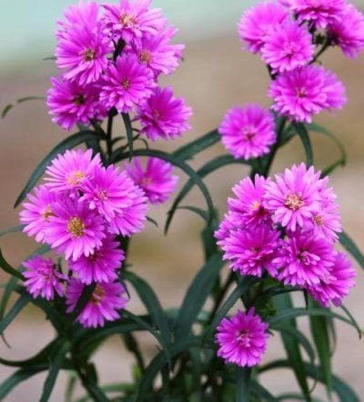 Bunga Aster Ungu Ungu Tanaman Dan Bunga Kertas