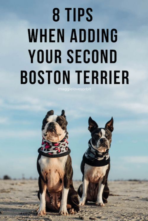 Getting A Second Boston Terrier Isn T A Walk In The Park Here Are