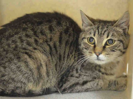 Adopted/rescued! TO BE DESTROYED 3/17/15 *NYC* BABY ALERT! ONLY 5 MONTHS OLD! * Manhattan Center * During the intake Ira was very nervous. Ira did allow minimal handling and showed no other signs of aggression. She becomes a bit comfortable with the touch then began to roll over and head-butt. However, she remains cautious with her surroundings *   My name is IRA.  ID # A1029679. I am a female brn tabby dom sh mix. I am about 5 MOS old.  I came in on 03/07/2015 from NY 10456, PERS PROB.