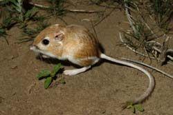 Rat kangourou