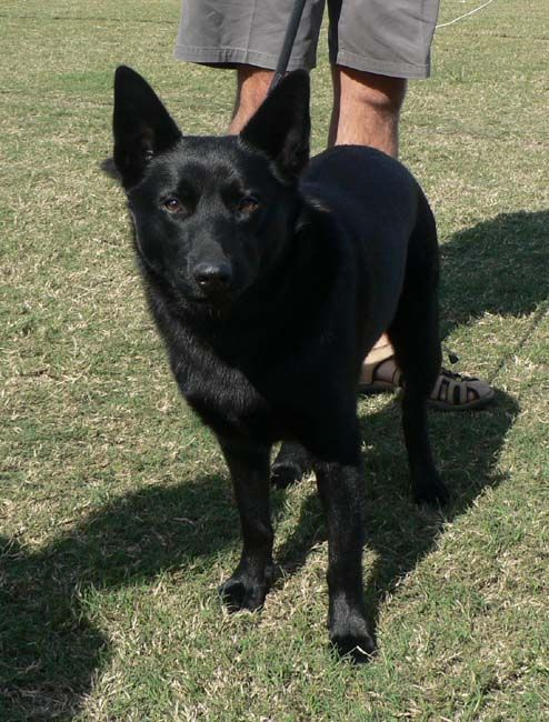 Australian Cattle Dog Kelpie Club Of Qld Inc Australian Kelpie Dog Austrailian Cattle Dog Black Dog
