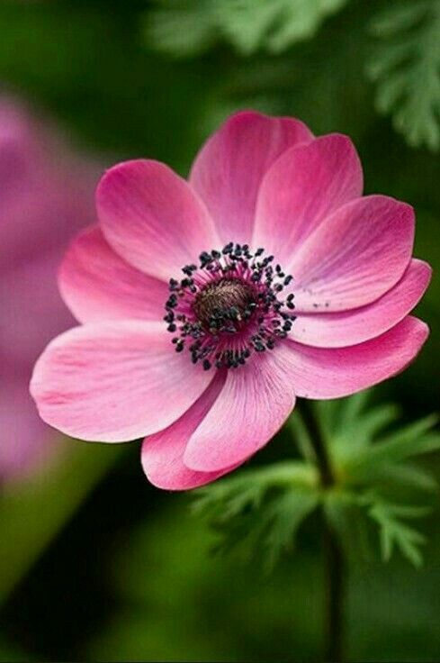Anemone The Name Anemone Comes From The Greek Word For Windflower According To Greek Mythology The Anemone Sprang From Aphrodite S Tattoo Ideas Flower Pictures Beautiful Flowers Amazing Flowers
